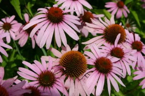 echinacea-bsp
